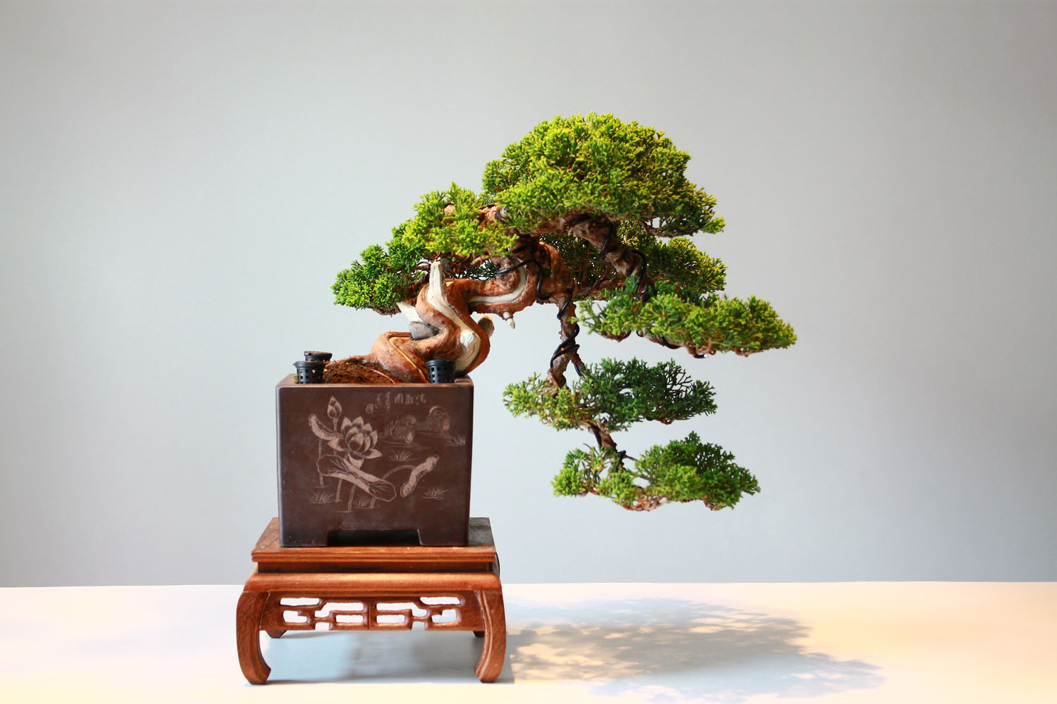 Bonsai Tree One Of The Most Popular Symbols Of Japan